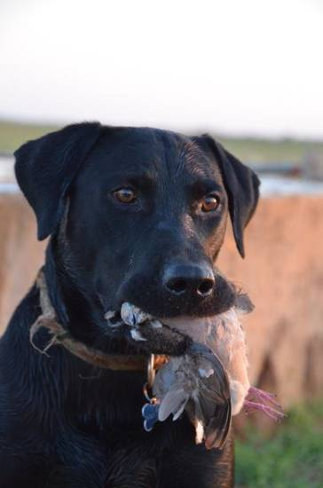 A Labrador retriever is a willing companion on a waterfowl or dove hunt. Photo by Wade Free