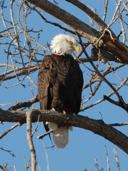 A bald eagle rests at the Sequoyah National Wildlife Refuge.