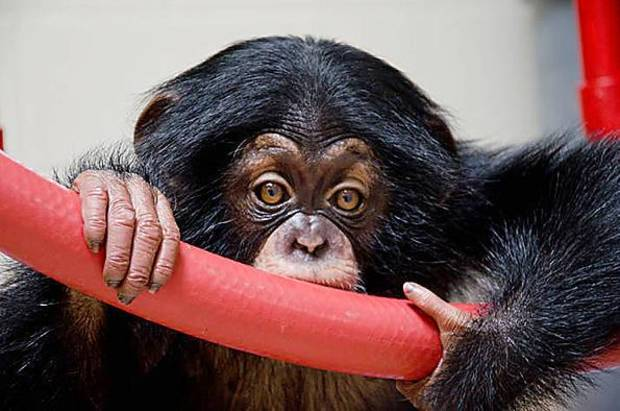 Ruben, shown here at the Lowry Park Zoo in Tampa, has thrived since arriving in Oklahoma City by private jet in July. The eight month old chimp is now 13 pounds and growing. <strong>Dave Parkinson - Dave Parkinson</strong>