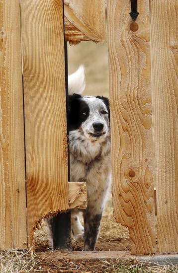 A dog peeks Tuesday through a hole in this fence in a Woodward neighborhood. A cold front dropped temperatures drastically in Woodward and other parts of the state.  Photo by Jim Beckel,  The Oklahoman