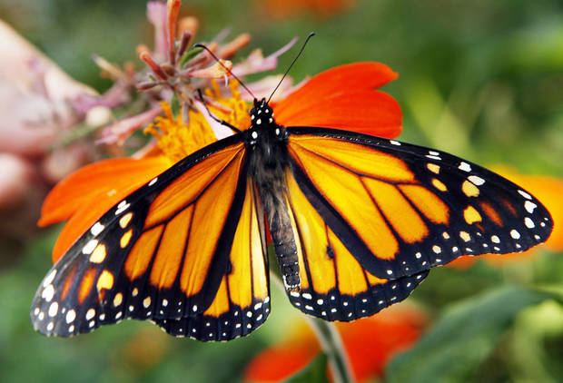 Each year, monarchs migrate through Oklahoma, and residents in rural McClain County celebrate their arrival with a festival set for this weekend. PHOTO BY STEVE SISNEY, THE OKLAHOMAN archives