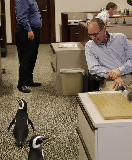 Photographer Paul Hellstern turns around to find Magellanic penguins Penny and Pete walking through the photo department as SeaWorld visited the OPUBCO on Thursday, Feb. 21, 2013, in Oklahoma City, Okla. Hellstern had been out on assignment and didn&#039;t know there were penguins roaming the floor. Photo by Doug Hoke, The Oklahoman
