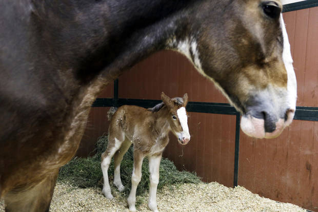 A 7-year-old Clydesdale, top, watches over her foal at Warm Springs Ranch in Boonville, Mo.  AP Photo