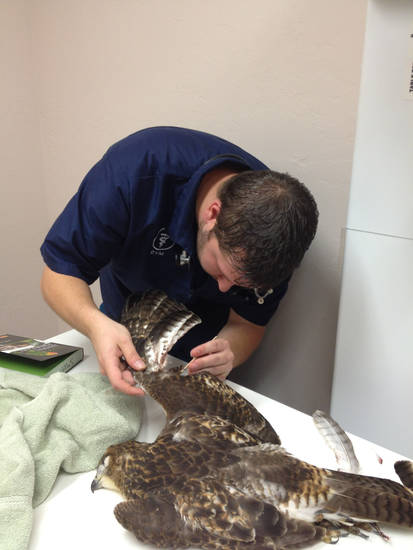 Dr. Jason Smart examines the hawk he found injured along Waterloo Road in July.  Photo provided