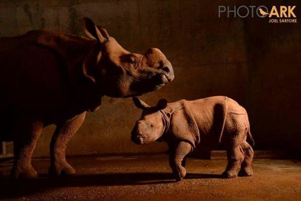 Esteemed National Geographic photographer Joel Sartore recently photographed Niki and Rupert, a mother-son Indian rhinoceros duo at the Oklahoma City Zoo, for his ongoing Photo Ark project. Photo provided