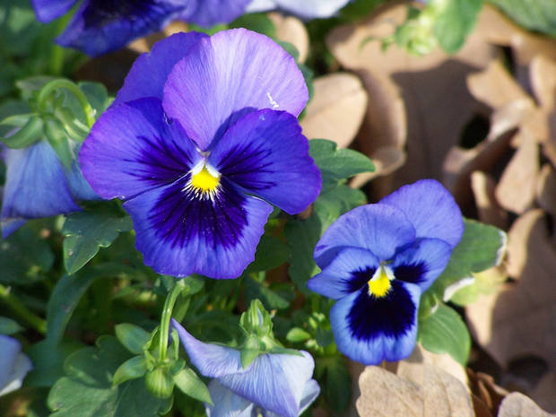 Pansies brighten a dreary January day in Cindi Tennison's yard in Bethany.<br/><b>Community Photo By:</b> Cindi Tennison<br/><b>Submitted By:</b> Cindi , Bethany
