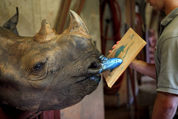 RHINOCEROS / ANIMAL / PAINTING: Pachyderm Supervisor Nick Newby helps Marsha the rhino paint at the Oklahoma CIty Zoo on Thursday, July 29, 2010.  Photo by Bryan Terry, The Oklahoman ORG XMIT: KOD
