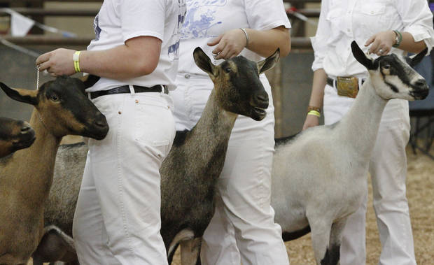 Goats are judged at the Oklahoma State Fair on Wednesday, Sep. 19, 2012.  Photo by Jim Beckel, The Oklahoman.