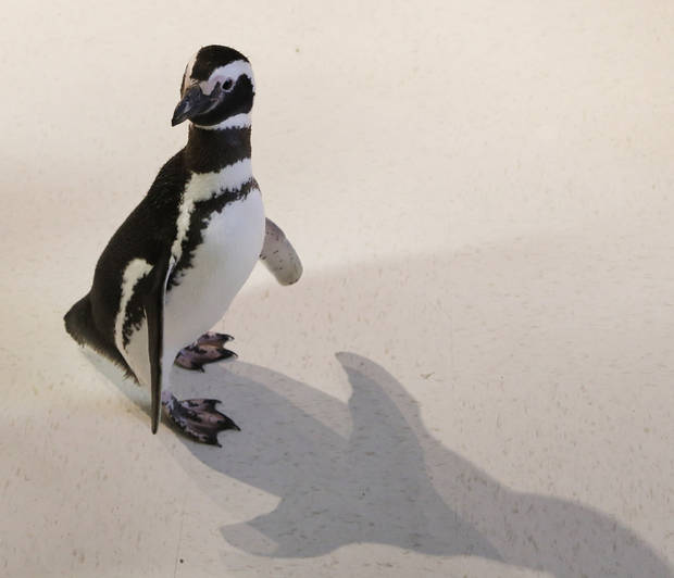 One of the Magellanic penguins walks around the studio as SeaWorld visited the OPUBCO on Thursday, Feb. 21, 2013, in Oklahoma City, Okla. Photo by Doug Hoke, The Oklahoman
