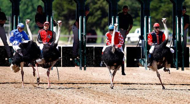 Ostriches race during Extreme Racing at Remington Park in Oklahoma City,  Sunday, April 22, 2012. Photo by Sarah Phipps, The Oklahoman.