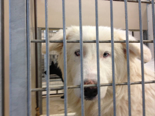 The Oklahoma City Animal Shelter is trying to reunite this dog and its owner.  Photo by Michael Kimball, The Oklahoman