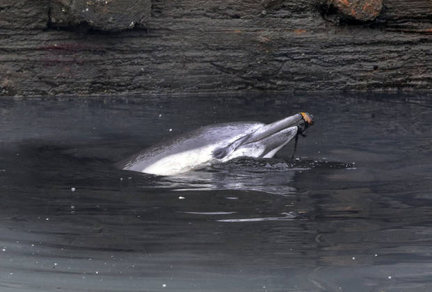 ADDS THAT THE DOLPHIN HAS DIED - A dolphin surfaces in the Gowanus Canal in the Brooklyn borough of New York,  Friday, Jan. 25, 2013. The New York City Police Dept. said animal experts were waiting to see if the dolphin would leave on its own during the evening's high tide. A wayward dolphin that meandered into a polluted urban canal, riveting onlookers as it splashed around in the filthy water and shook black gunk from its snout, died Friday evening, marine experts said. (AP Photo/Richard Drew)