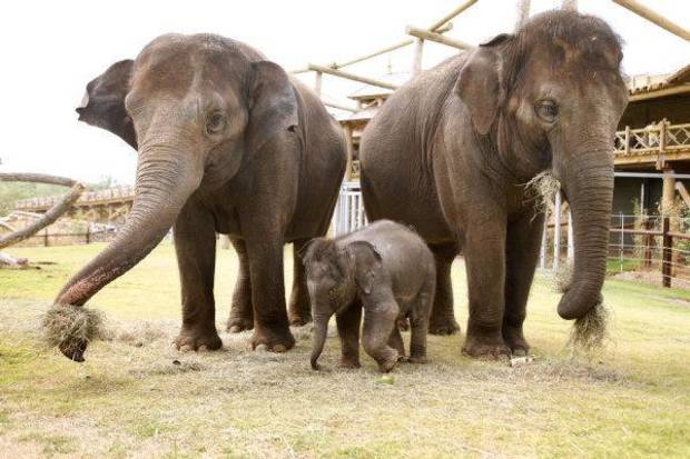 The elephant calf at the Oklahoma City Zoo explores her outdoor habitat with her mother Asha, left, and aunt Chandra on Tuesday morning. The calf's name will be revealed Wednesday. <strong>PAUL HELLSTERN - THE OKLAHOMAN</strong>