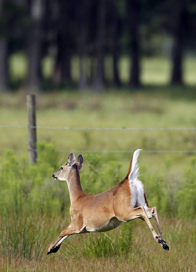 A young deer sprints across a field early Saturday, July 17, 2010 in Trinity, Fla. (AP Photo/Chris O'Meara) ORG XMIT: FLCO103