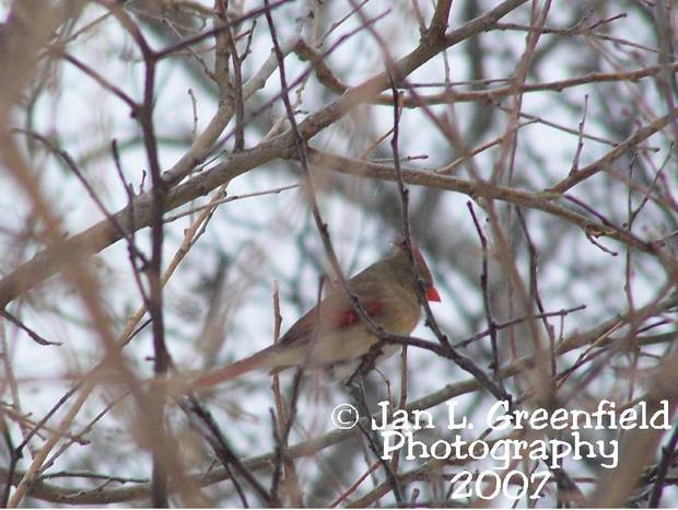 Female Redbird in tree during Ice Storm 2007, Chandler, OK<br/><b>Community Photo By:</b> Jan L. Greenfield<br/><b>Submitted By:</b> Jan, Chandler