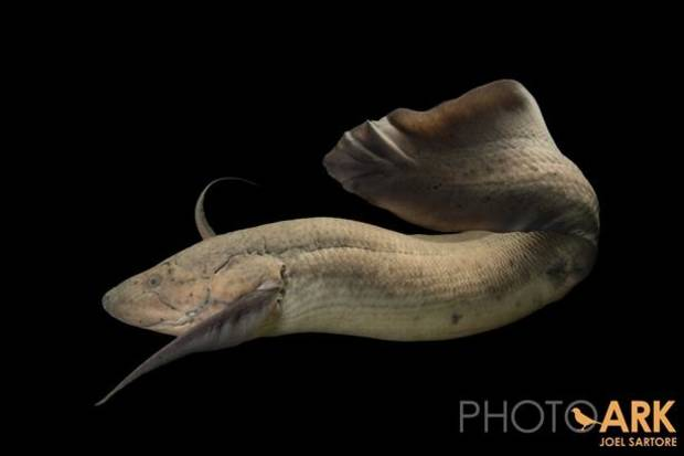 West African lungfish (Protopterus annectens) at the Oklahoma City Zoo.