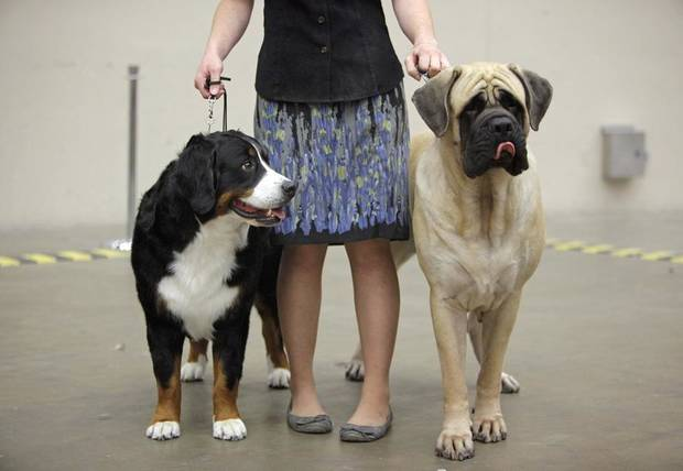 Amanda Cone, a handler's assistant from Dallas, holds Amber, left, a Burnese Mountain Dog and Bonnie, a Mastiff, during the OKC Summer Classic Dog Shows at the Cox Convention Center in Oklahoma City, Thursday, June 30, 2011. Photo by Nate Billings, The Oklahoman