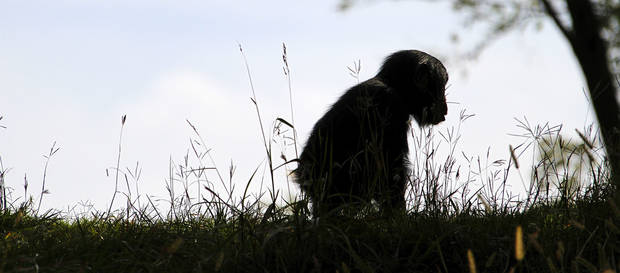 Ruben, a young male chimpanzee  plays in the grass at the Oklahoma City Zoo. Photo By Steve Gooch, The Oklahoman <strong>Steve Gooch - The Oklahoman</strong>