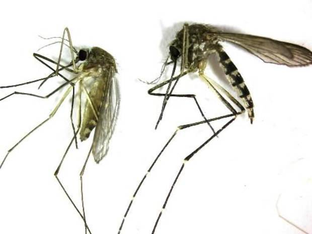This undated photo provided by the Northwest Mosquito Abatement District shows a Culex pipiens, left, the primary mosquito that can transmit West Nile virus to humans, birds and other animals. (AP Photo/courtesy the Northwestern Mosquito Abatement District)