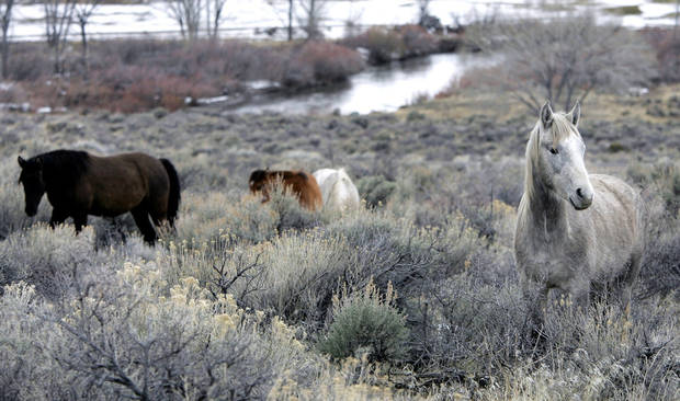 In this March 14, 2006 file photo, a herd of wild horses grazes near the Carson River in Carson City, Nev. About 33,000 wild horses roam in 10 Western states, about half of those in Nevada. The horses and burros are managed by the Bureau of Land Management and protected under a 1971 law enacted by Congress. (AP Photo/Nevada Appeal, Chad Lundquist)