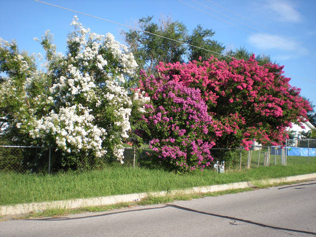 Three colors of crape myrtles in Midwest City.