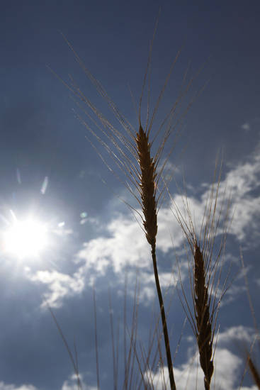 David Gammill's  wheat, which is about 2 to 3 weeks for harvest, Tuesday, May 1, 2012. Photo By David McDaniel/The Oklahoman