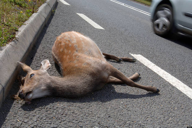 AMXKR3 Deer killed on side of road, Dead deer on road, roadkill, Britain UK