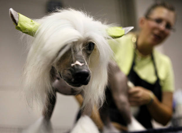 GROOM / GROOMING: Ditto, a Chinese crested, is groomed by owner Chris Ann Moore during the Oklahoma City Dog Show at the Cox Convention Center in Oklahoma City Thursday, June 25, 2009.  Photo by Ashley McKee, The Oklahoman