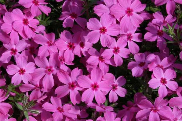 Phlox blooms at the Omniplex gardens<br/><b>Community Photo By:</b> Cindi Tennison<br/><b>Submitted By:</b> Cindi , Bethany