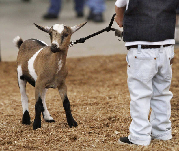 Paul Goodchild, 4, of Norman, holds tight to  Emmy, his Nigerian Dwarf goat after showing her in the three to six month class during goat judging at the Oklahoma State Fair on Wednesday, Sep. 19, 2012. This is Goodchild's first time to show an animal at the state fair. Emmy won a second place ribbon; Paul was awarded a first place ribbon for showmanship.  Photo by Jim Beckel, The Oklahoman.
