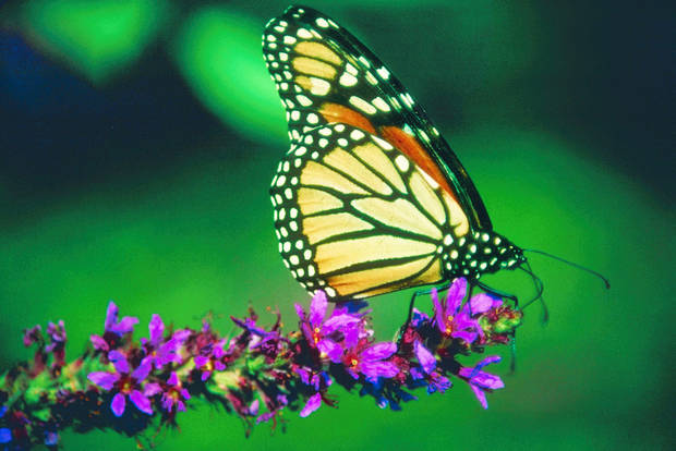 A monarch perches on a flower.  PHOTO provided by JUPITER IMAGES