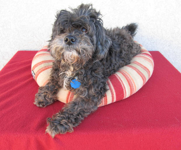 Gizsmo is a friendly 10-year-old shih tzu and poodle mix. His Oklahoma City Animal Shelter number is 132891. All pets 4 years and older have a $25 adoption fee. This includes spay or neuter, shots and health check. The shelter is at 2811 SE 29. PHOTO PROVIDED