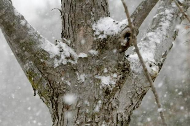Snow collects on a tree in Edmond, OK, Friday, December 28, 2012, By Paul Hellstern