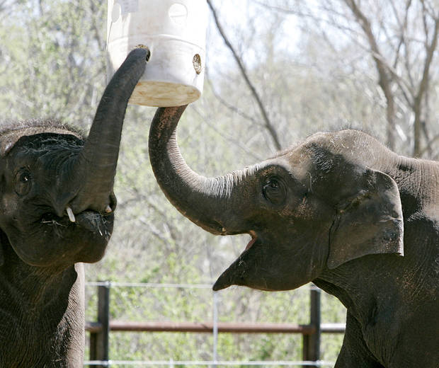 Asha (right) and Chandra, the elephants at the Oklahoma City Zoo, eat from a feeder hanging above them at the new Elephant Exhibit on Tuesday, April 5, 2011. Photo by John Clanton, The Oklahoman
