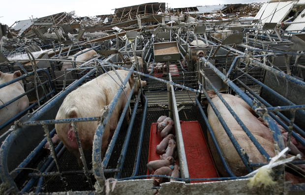 Pigs sit in their pen at the Farm 62 of Seaboard Foods near Lacey, Okla., Saturday, May 24, 2008. The farm was severely damaged by a tornado. BY SARAH PHIPPS, THE OKLAHOMAN