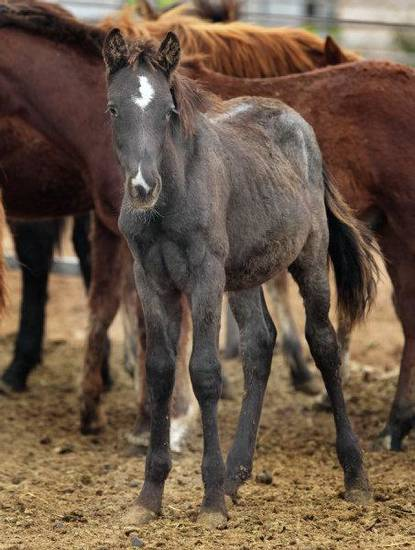 A mustang weanling at the Pauls Valley adoption center. <strong>STEVE SISNEY</strong>