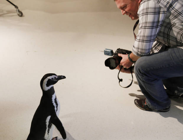 Photographer Chris Landsberger smiles as one of the Magellanic penguins walks around the studio as SeaWorld visited the OPUBCO on Thursday, Feb. 21, 2013, in Oklahoma City, Okla. Photo by Doug Hoke, The Oklahoman