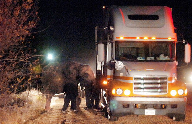 Circus workers prepare to load an elephant onto a tractor-trailer Wednesday night to return it to the Garfield County Fairgrounds in Enid.  Photo by Billy Hefton, Enid News & Eagle/AP