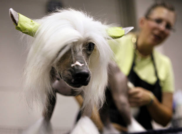 Far left: Ditto, a Chinese crested, is groomed by owner Chris Ann Moore during the OKC Summer Classic Dog Show at the Cox Convention Center in Oklahoma City on Thursday.