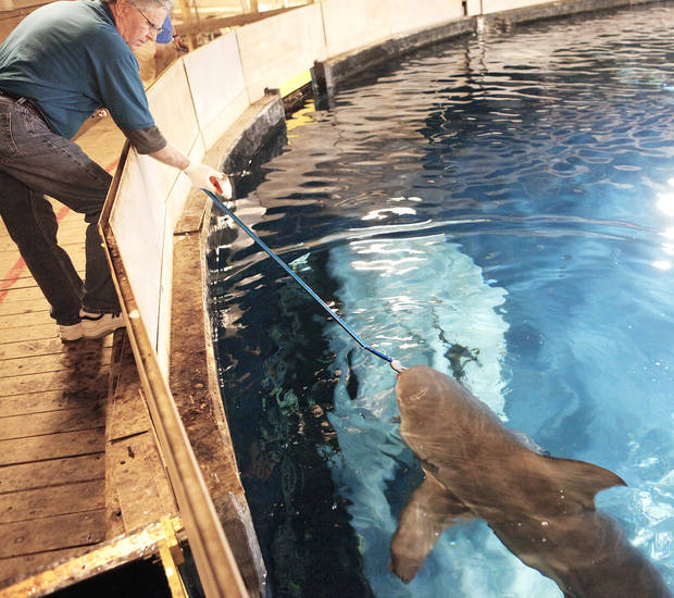 Volunteer Pat Woodward feeds one of the sharks at the Oklahoma Aquarium in Jenks. PHOTO By  David McDaniel, The Oklahoman