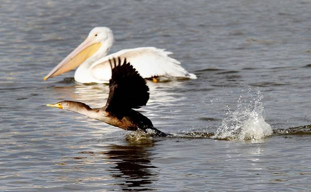 A cormorant takes flight with a white pelican in the background at the Oklahoma City Zoo lake during its migration south in Oklahoma City, Thursday December, 8,  2011. Photo by Steve Gooch, The Oklahoman.