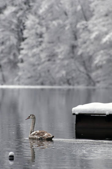 A swan swims in a partially frozen lake after a snowfall near the Belarusian capital Minsk, Sunday, Feb. 10, 2013. On Sunday the temperatures in Minsk dropped to 0 C (32 F).(AP Photo/Sergei Grits)