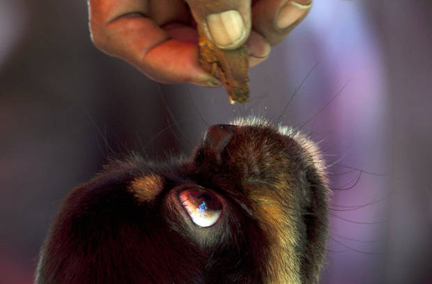 In this Nov. 22, 2012 photo, a dog looks up at a piece of food offered by its owner before competing in the Fall Canine Expo in Havana, Cuba. Hundreds of people from all over Cuba and several other countries came for the four-day competition to show off their shih tzus, beagles, schnauzers and cocker spaniels that are the annual Fall Canine Expo�s star attractions. (AP Photo/Ramon Espinosa)