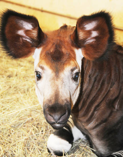 The Oklahoma City Zoo�s baby okapi Nia was born in November. Photo provided