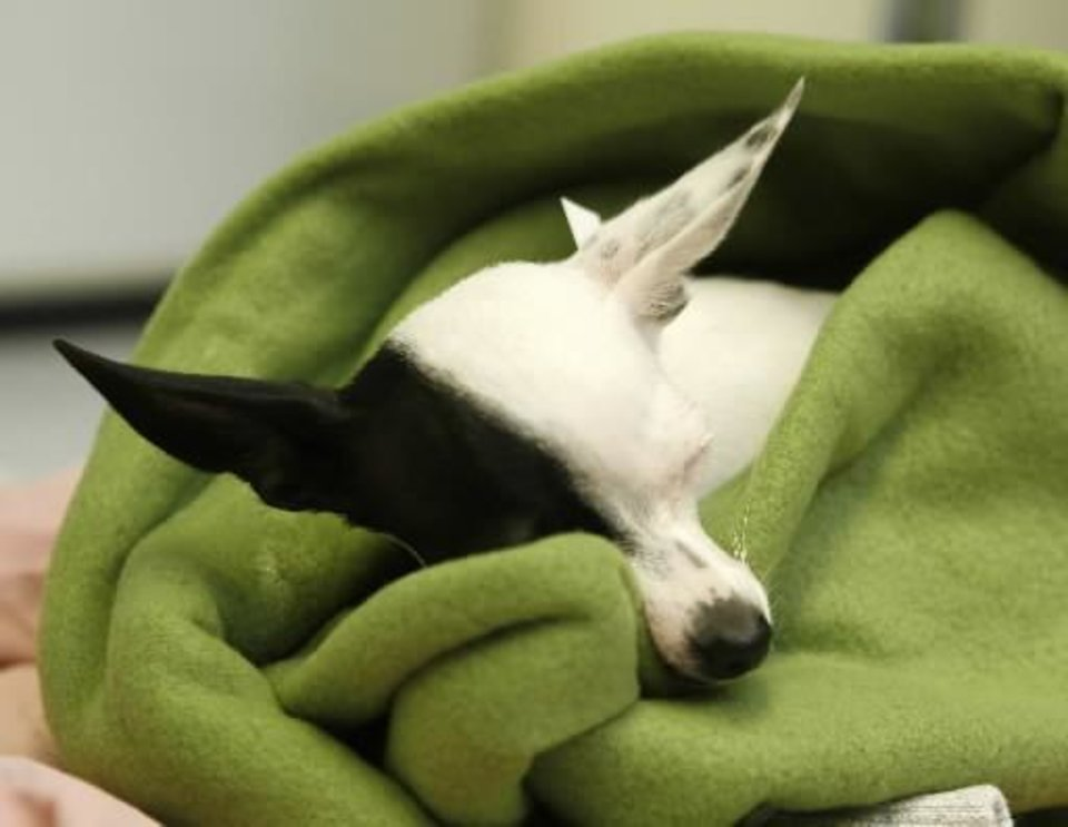 """Hannah"", a female Chihuahua, recovers from surgery at the new OK  Humane  Place Spay/Neuter Clinic in Oklahoma City, OK, Monday, June 8, 2009. By Paul Hellstern"