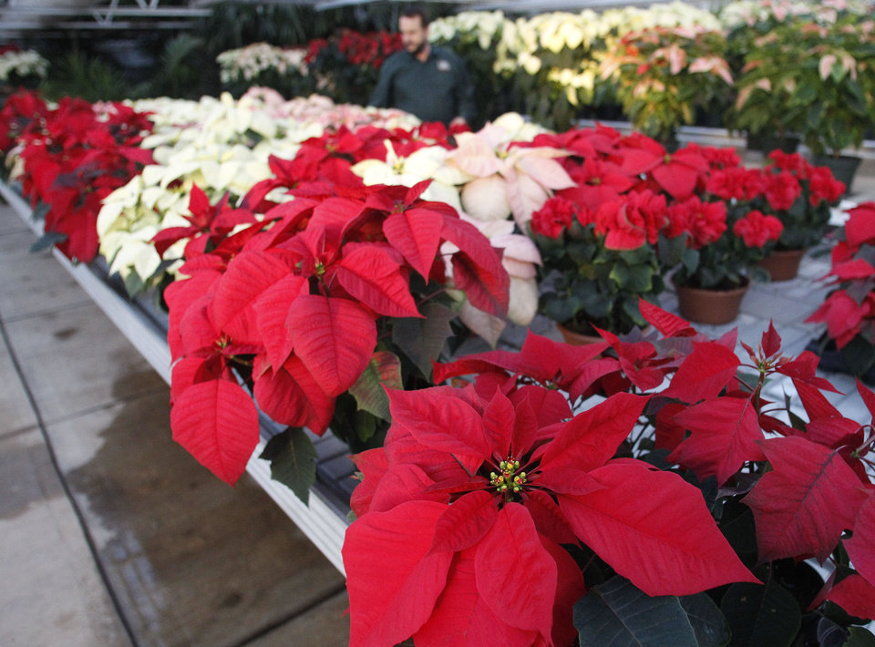 Lynn Nichols, grounds manager for Oklahoma State University-Oklahoma City Horticulture Department, walks among the rows of poinsettias that were recently on display during the department's annual sale in late November. AP PHOTO <strong>Sue Ogrocki</strong>