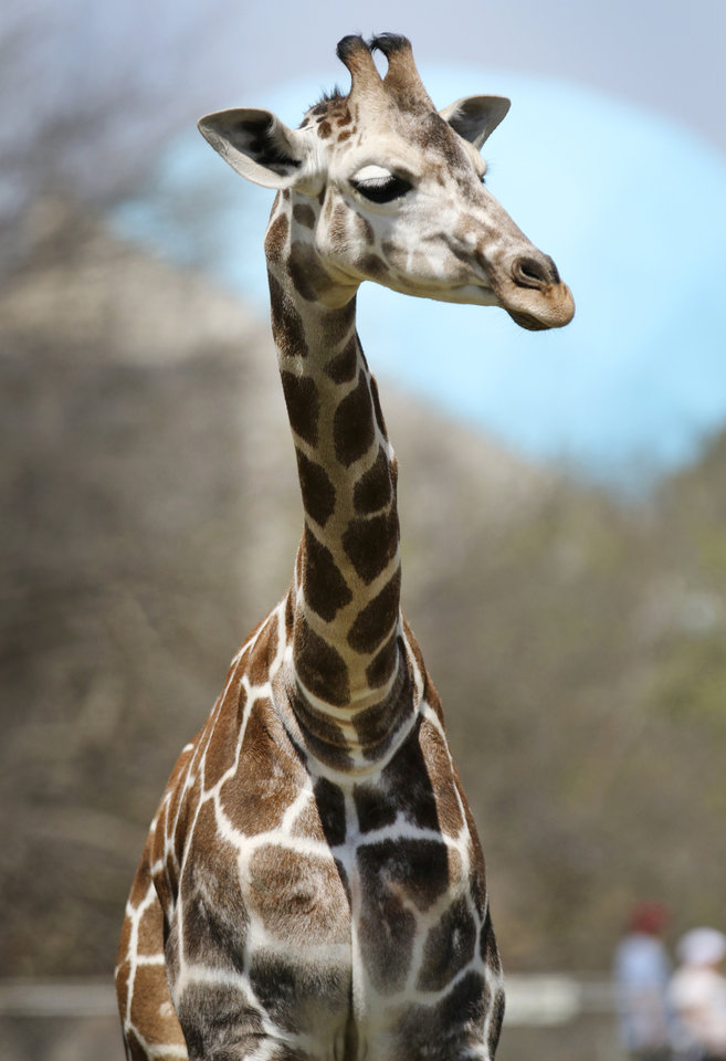 Photo -  Surgeons euthanized Kyah, a 6-month-old giraffe from the Oklahoma City Zoo, during surgery Tuesday in Stillwater. PHOTO BY STEVE GOOCH, THE OKLAHOMAN     Steve Gooch -  The Oklahoman
