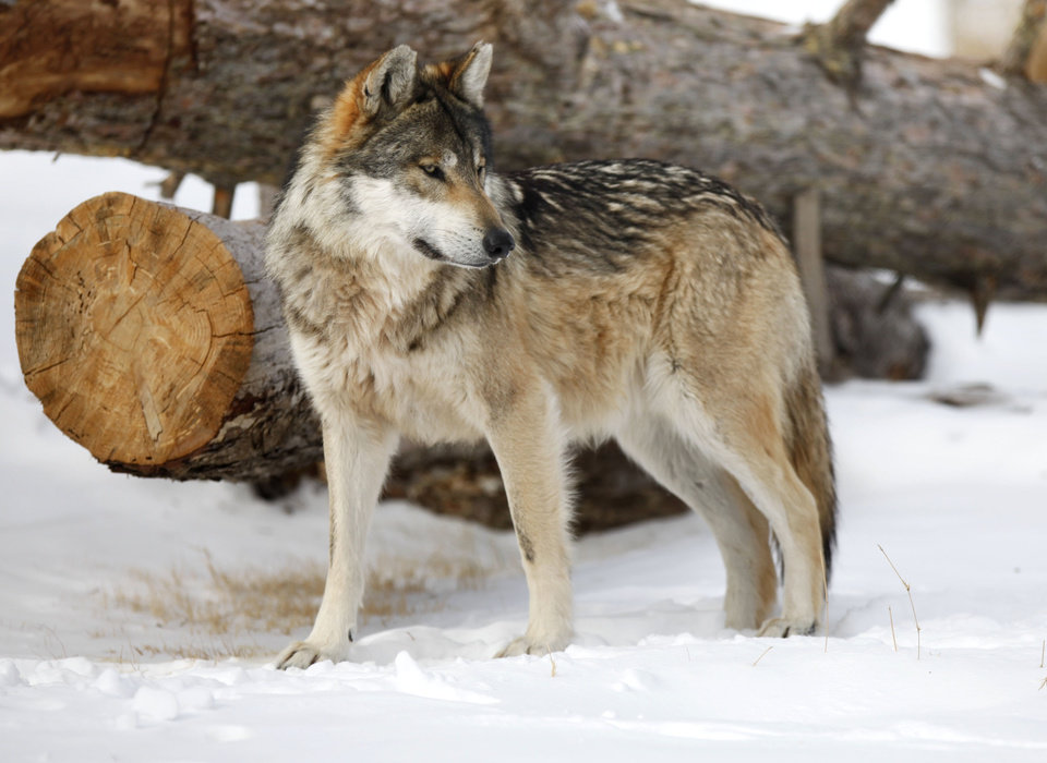 Photo - A Mexican Grey Wolf doesn't seem to mind the snow at the Oklahoma City Zoo in Oklahoma City, OK, Thursday, Feb. 3, 2011. By Paul Hellstern, The Oklahoman