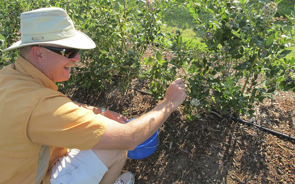 Photo - Vince Greuel picks blueberries June 28 at Thunderbird Berry Farm in Broken Arrow. The farm was one of four stops on the Oklahoma Agritourism bus tour. STAFF PHOTO BY CELIA AMPEL   - Celia Ampel