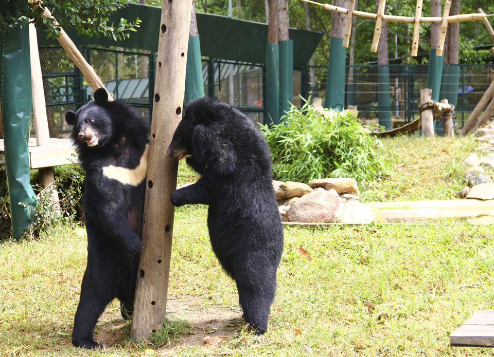 Photo -   In this photo taken Oct. 29, 2012, two bears play inside an enclosure at the Vietnam Bear Rescue Center in Tam Dao, Vietnam. The bears, some of them blinded or maimed, play behind tall green fences like children at school recess. Rescued from Asia's bear bile trade, they were brought to live in this lush national park, but now they may need saving once more. The future of the $2 million center is in doubt after Vietnam's vice defense minister in July ordered it not to expand further and to find another location, saying the valley is of strategic military interest. Critics allege the park director is urging an eviction because he has a financial stake in a proposed ecotourism venture on park property - accusations he rejects. (AP Photo/Mike Ives)